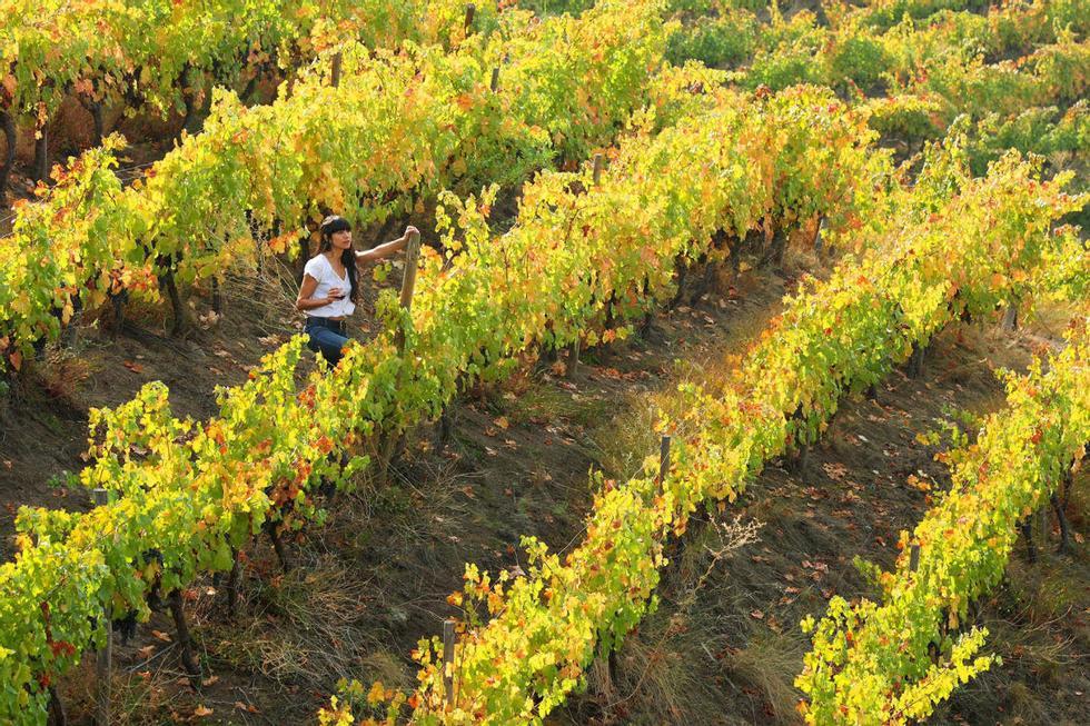 Industria importante: il vino contribuisce in modo significativo all'economia cilena.  Rappresenta il mezzo percento del prodotto interno lordo del paese e impiega più di 100.000 persone, il 53 percento delle quali lavora nei vigneti.  Foto: Visita il Cile