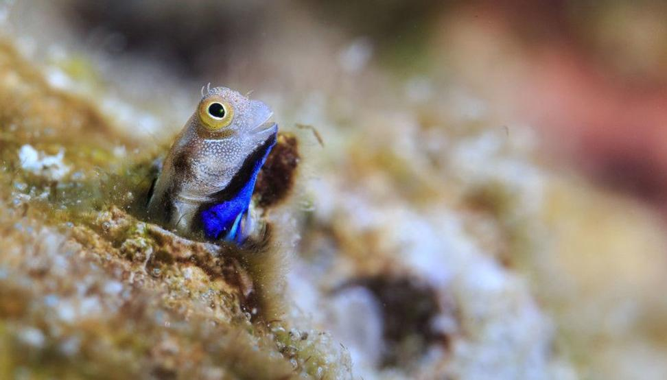 Knøttsmå fisk har en svært viktig men makaber rolle for livet på korallrevene