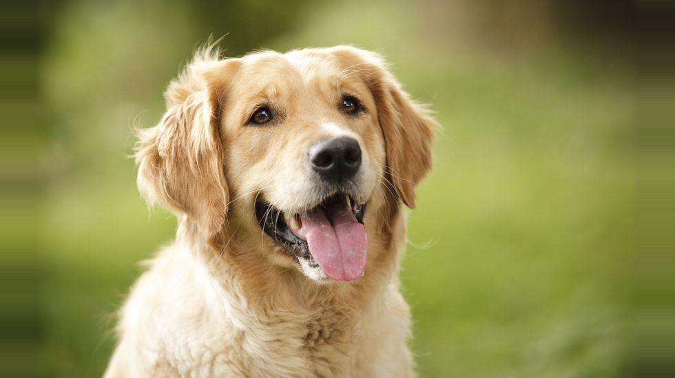 Nå skal hunder snuse seg frem til blærekreft | ABC Nyheter