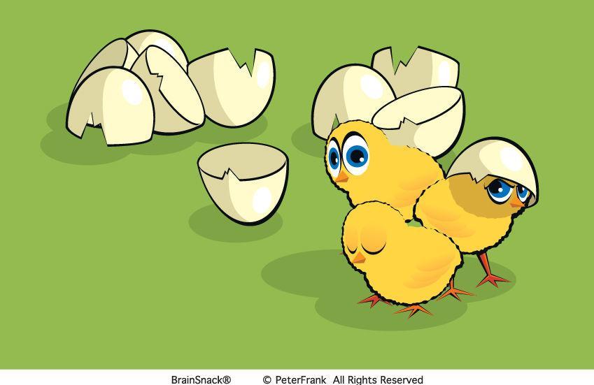 Hvor mange kyllinger har gått?