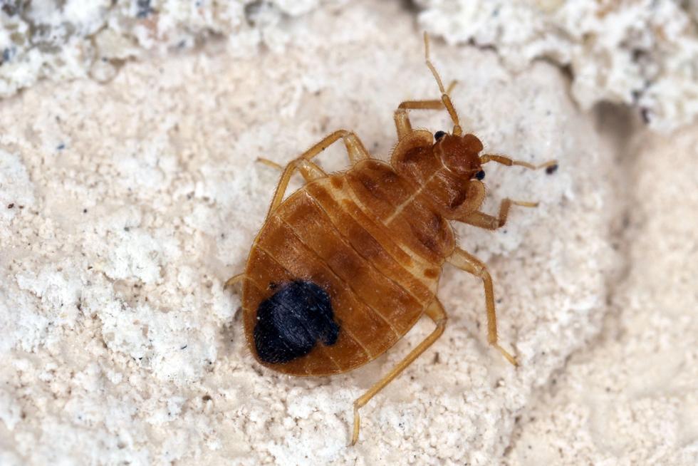 Skadedyr kan gjemme seg i støvsugerposen | ABC Nyheter